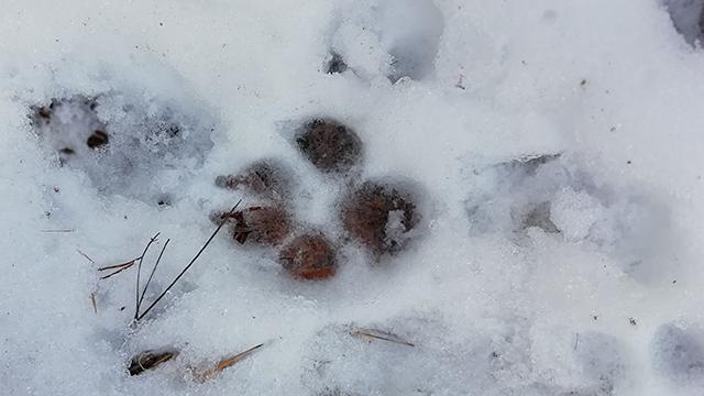 traccia di lupo