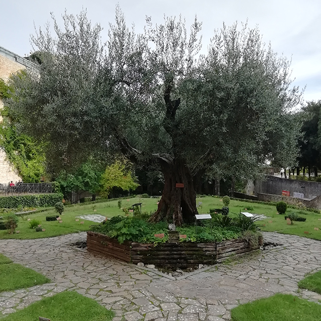 ulivo in umbria